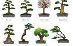 Японское дерево бонсай: как вырастить и сформировать