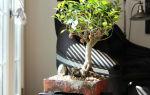 Миниатюрный бонсай фикус: выращивание от а до я